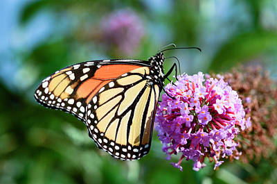 Crystal Wightman Rights Managed Images - Monarch Butterfly Royalty-Free Image by Crystal Wightman