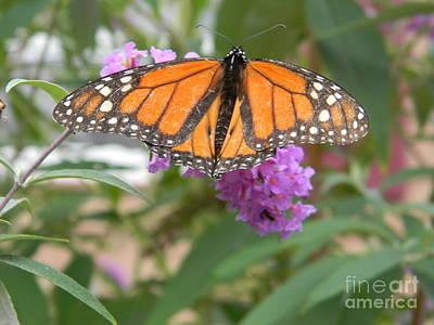 Monarch Butterfly Suckling A Flower Art Print