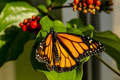 Photograph - Monarch Butterfly by Teri Virbickis