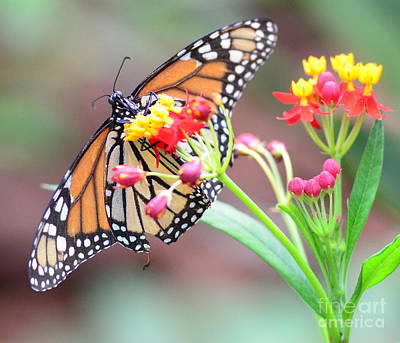 Monarch Butterfly  With Butterfly Flower - Gossamer Wings Embrace Candy Blossoms Art Print