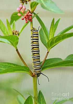 Photograph - Monarch Caterpillar And Milkweed by Steve Augustin