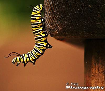 Photograph - Monarch Caterpiller by Al Fritz