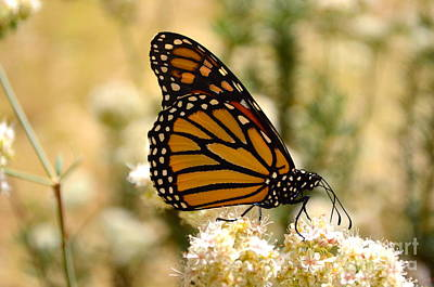 Photograph - Monarch Close Up by Johanne Peale