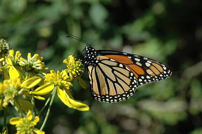 Photograph - Monarch  by David Armstrong