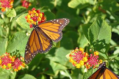 Photograph - Monarch by David Rizzo