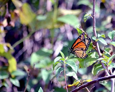 Photograph - Monarch by Deena Stoddard