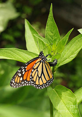 Photograph - Monarch Egg Time by Steve Augustin