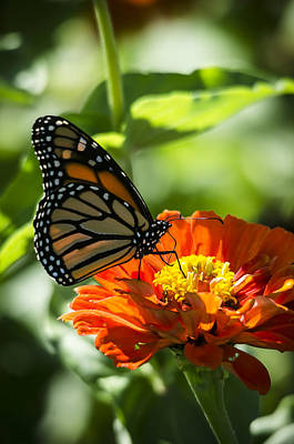 Photograph - Monarch by Eric Miller