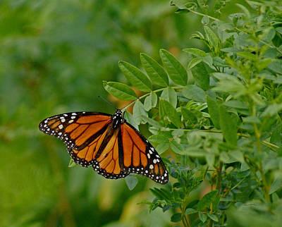 Butterflys Digital Art - Monarch by Ernie Echols