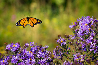 Photograph - Monarch Flight by Bill Pevlor