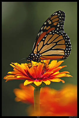 Photograph - Monarch by Gene Tatroe