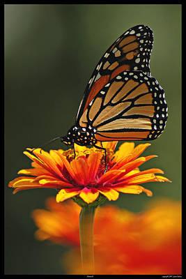 Photograph - Monarch by Gene Tatroe