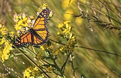 Photograph - Monarch Hatch by Daniel Sheldon