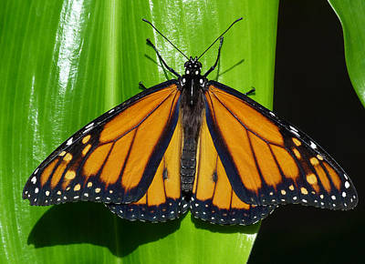 Photograph - Monarch In Australia by Margaret Saheed