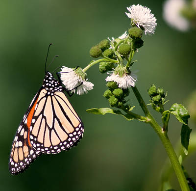 Butterfly Photograph - Monarch In Madison by Natural Focal Point Photography