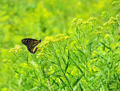 Photograph - Monarch In The Meadow by Shawna Rowe