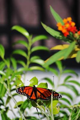 Beers On Tap - Monarch In The Sun by Chuck  Hicks