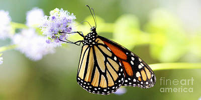 Photograph - Monarch Iv by Pamela Gail Torres