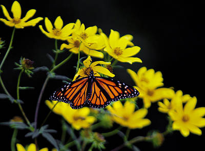 Photograph - Monarch by Jack R Perry