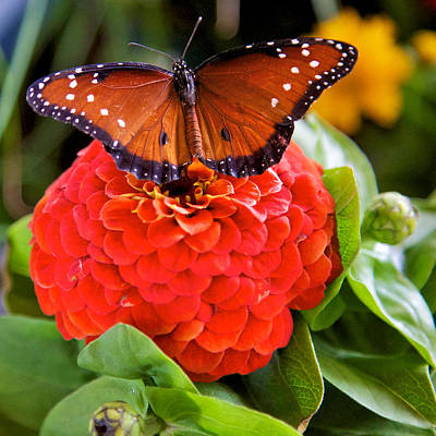 Photograph - Monarch by Joe Urbz