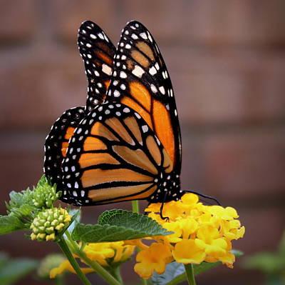 Photograph - Monarch by Joseph Skompski