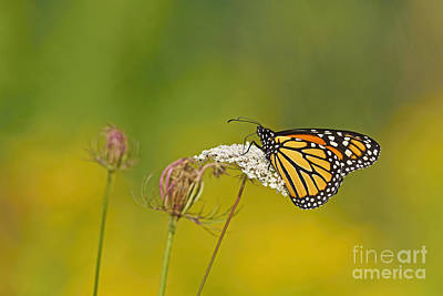 Photograph - Monarch by Joshua McCullough