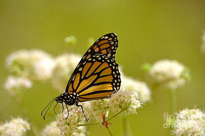 Photograph - Monarch Lace by Johanne Peale