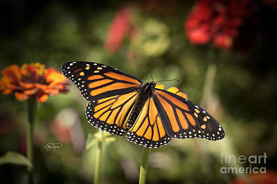 Photograph - Monarch Madness by Cris Hayes