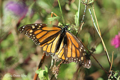 Photograph - Monarch Matriarch  by Deana Glenz