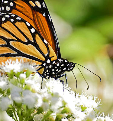Photograph - Monarch Moment by Lori Tambakis