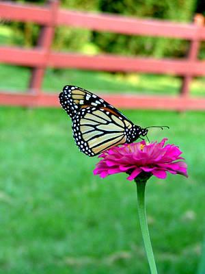 Photograph - Monarch  by Natasha Denger