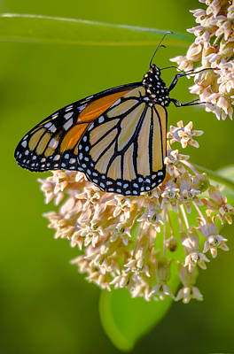 Monarch Nectaring Art Print