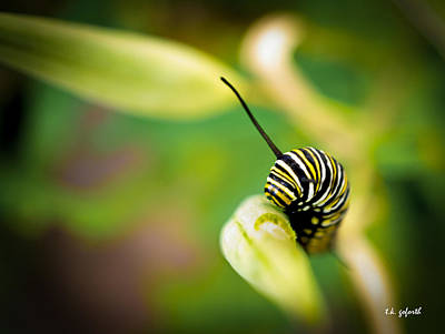 Photograph - Monarch Offspring by TK Goforth