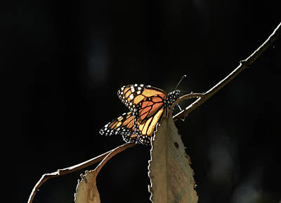 Photograph - Monarch On A Branch by Roger Mullenhour