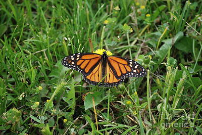 Photograph - Monarch On A Dandelion by Mark McReynolds