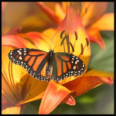 Photograph - Viceroy On Asian Lily by Heidi Hermes