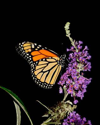 Photograph - Monarch On Black by Lara Ellis