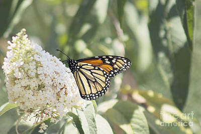 Buddleia Photograph - Monarch On Buddleia by Cindy Garber Iverson
