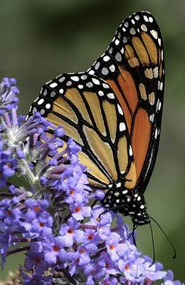 Monarch On Butterfly Bush-edition  3 Of 40 Art Print