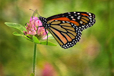 Monarch On Clover Art Print