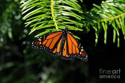 Photograph - Monarch On Evergreen by Sarah Schroder