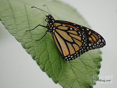 Photograph - Monarch On Green by Susan Stevens Crosby