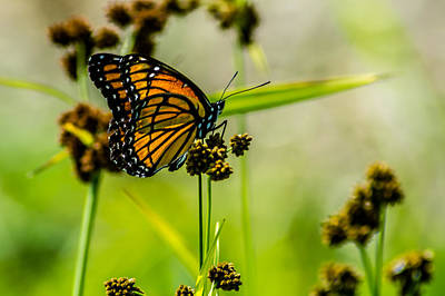 Pop Art Rights Managed Images - Monarch on Her Throne Royalty-Free Image by Randy Scherkenbach