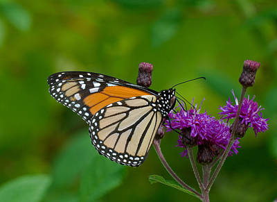 Photograph - Monarch On Iron Weed by Jim Zablotny