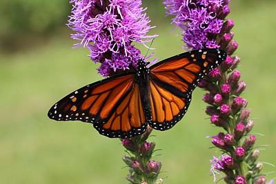 Photograph - Monarch On Liatris by Lucinda VanVleck