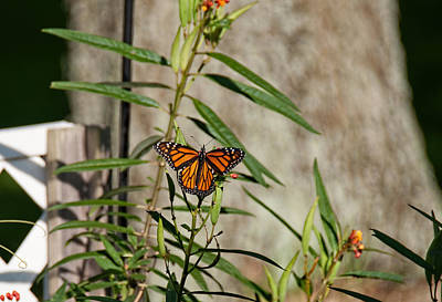 Photograph - Monarch On Milkweed by John Black