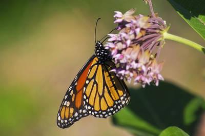 Monarch On Milkweed Art Print by Shelly Gunderson