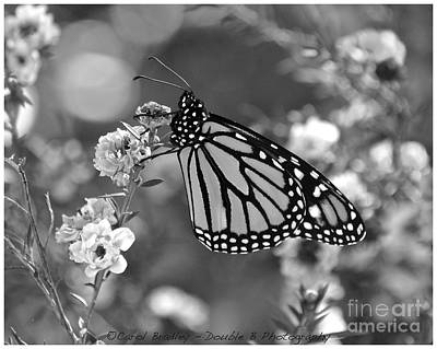 Photograph - Monarch On New Zealand Tea Tree by Carol  Bradley