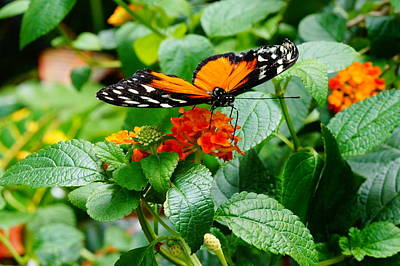 Photograph - Monarch On Orange Flower by Mike Murdock
