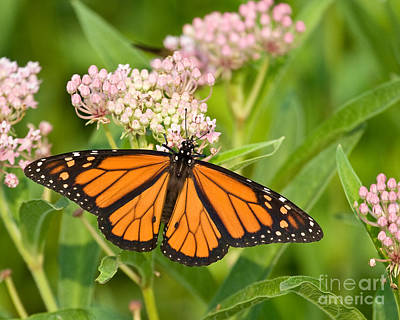 Monarch On Pink Art Print by Dale Nelson